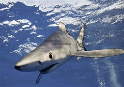 Blue shark in Mexico