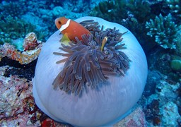 Maldive anemonefish in Moofushi Beru in the Maldives
