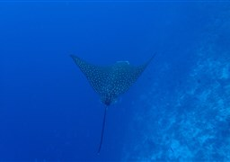 Spotted eagle ray à Moofushi Beru aux Maldives