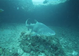Sand tiger shark in PROTEA BANKS Northern Pinnacle  in South Africa