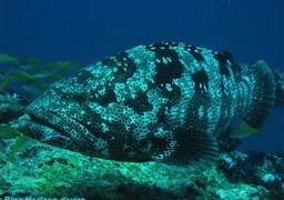 Malabar grouper in Sail Rock in Thailand