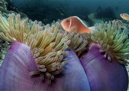 Pink anemonefish in Shark Island in Thailand