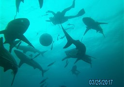 Blacktip shark in South Africa