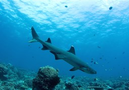 Whitetip reef shark in South Point in Malaysia