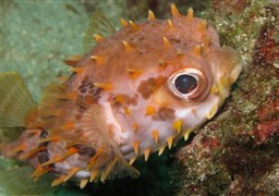 Birdbeak burrfish in Tanjung Sari in Indonesia