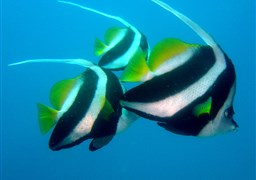 False moorish idol in Thailand