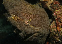 Commerson's frogfish in The Jetty in Indonesia