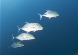 Bluefin trevally in Thistlegorm Wreck in Egypt