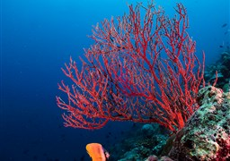 Scuba diving in Thoddoo Faru in the Maldives