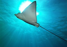 Spotted eagle ray in Two Step, Honaunau Bay, Big Island in United States