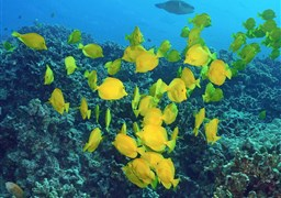 Yellow tang in Two Step, Honaunau Bay, Big Island in den Vereinigte Staaten von Amerika