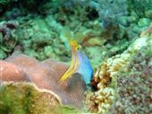 Ribbon moray