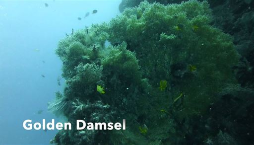 Golden damselfish in Panglao Island in Philippines
