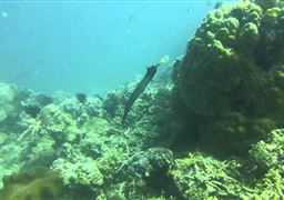 Trumpetfish in Balicasag Island in Philippines
